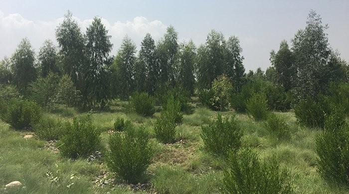 Billion Tree Tsunami: KP govt admits 60pc saplings new, self-growing