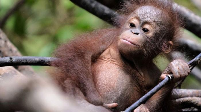 Borneo orangutans dying off as forests are lost: study