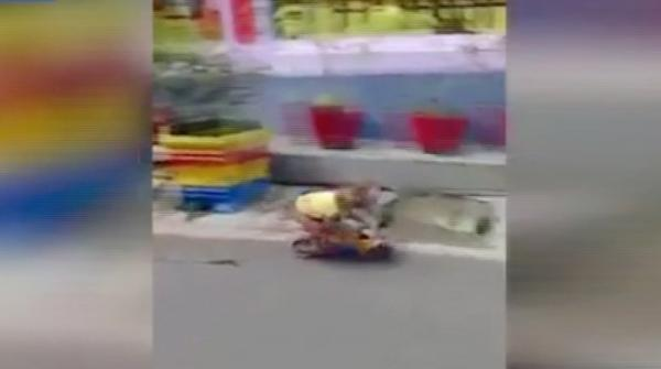 Monkey's failed attempt at riding bicycle