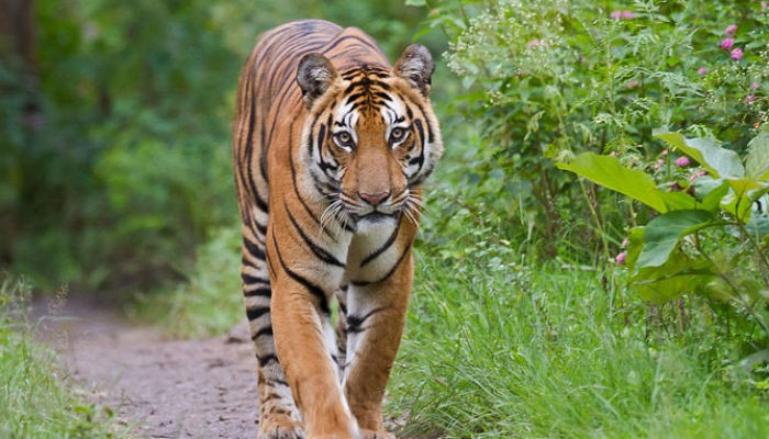 Parasitic disease claims life of another Bengal tiger at