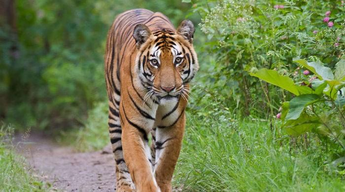 Parasitic disease claims life of another Bengal tiger at Lahore zoo