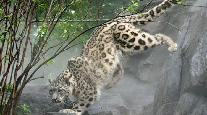 Snow leopard in Peshawar zoo died due to clogged arteries: postmortem report