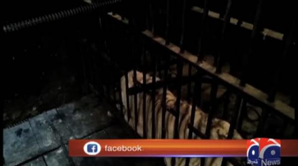 third Bangal Tiger died in Lahore Zoo