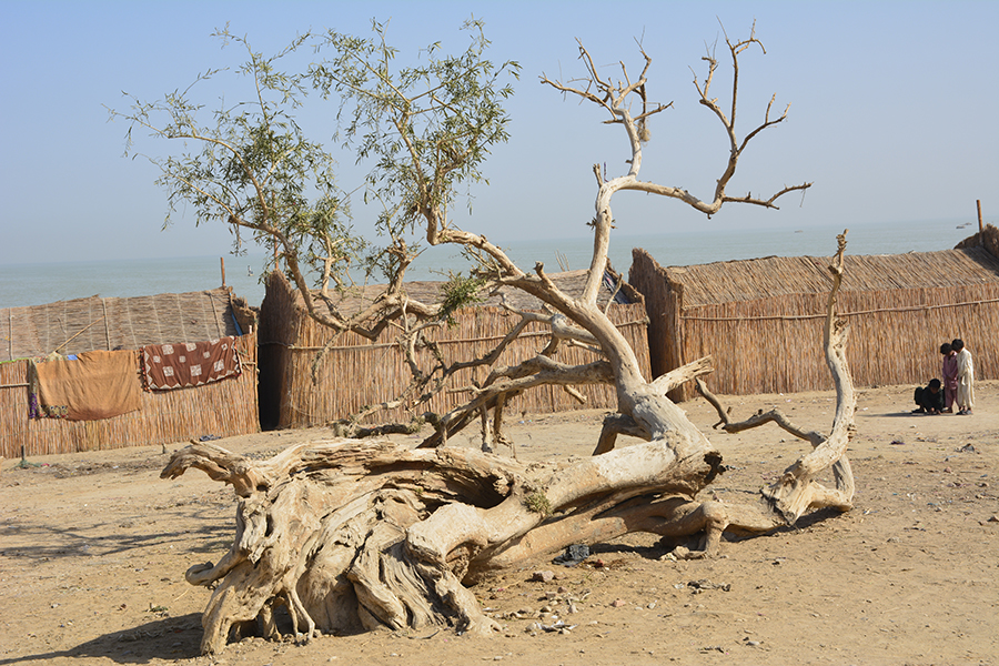 The freshwater shortage has also effected trees near the lake. Photos by Amar Guriro