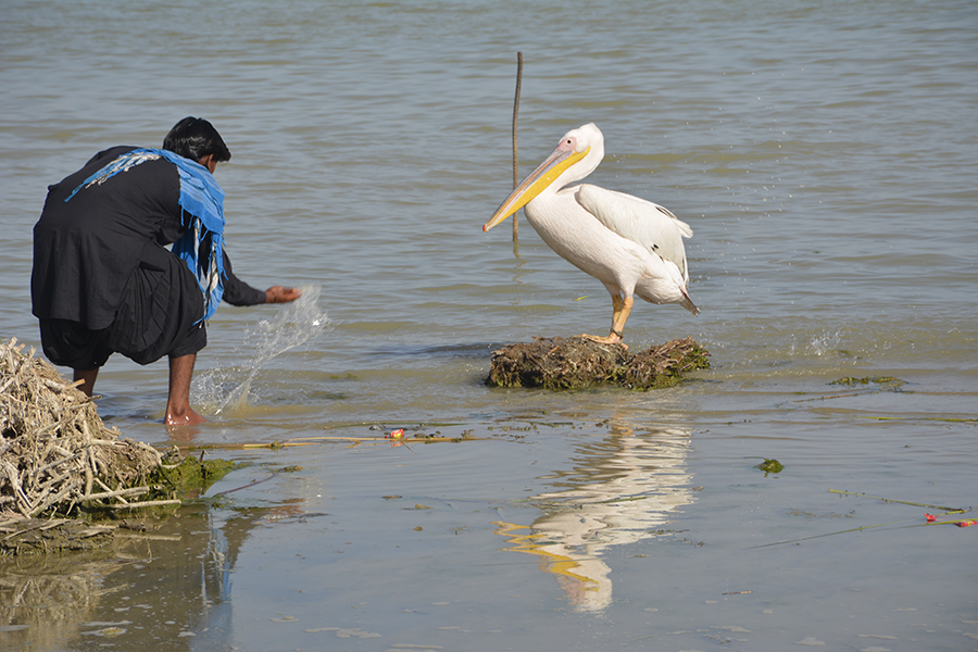 Some locals are keeping pelicans as pet near Manchar. Photos by Amar Guriro