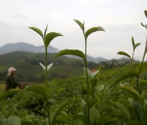 How healthy is too healthy? EU warns about green tea supplements