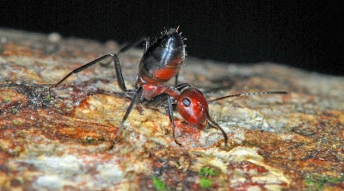 Ants that 'explode' to fight foes discovered on Borneo