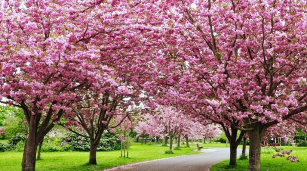 Phillippines' beautiful cherry blossom