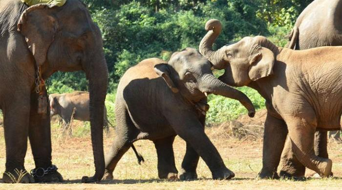 Online skin trade fuels Myanmar elephant slaughter: conservation group
