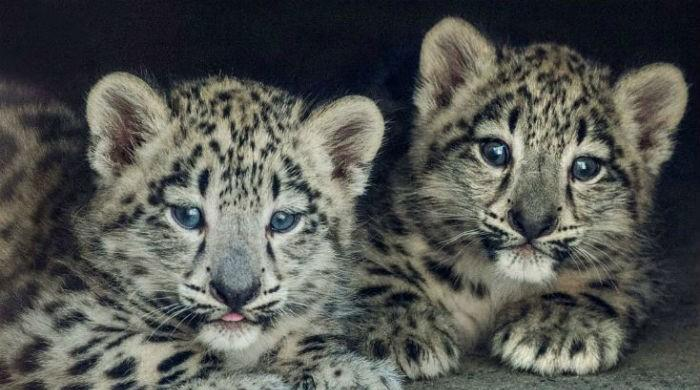 Growing pride: leopardess gives birth to four cubs at Peshawar zoo