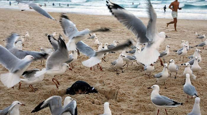 Ready, aim, fire: Australian diners given water pistols to ward off seagulls