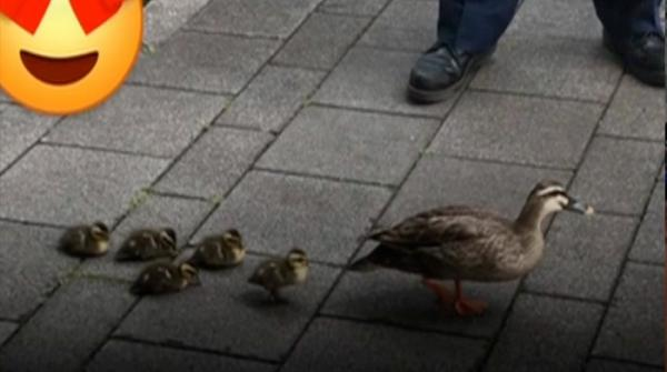 Duck along with family out to cross the road in Tokyo
