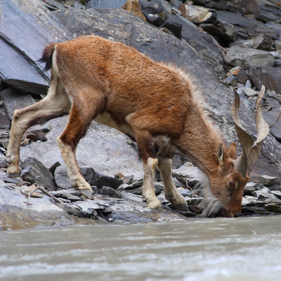 Do You Know Why The Markhor Is Pakistans National Animal