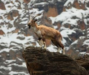 Do you know why the Markhor is Pakistan's national animal?