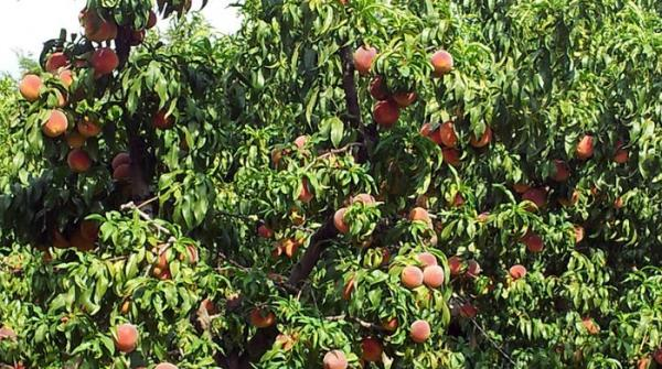 Peaches and plums: From Swat, with love