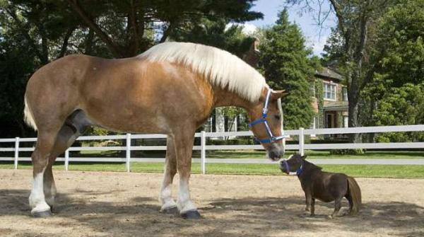 World's Tallest Horse Meets World's Smallest Horse