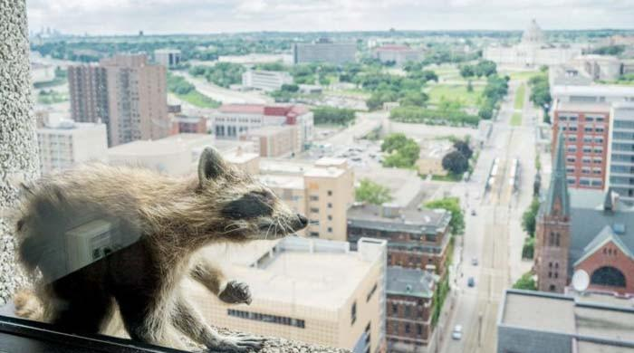 Minnesota online sensation raccoon captured atop skyscraper