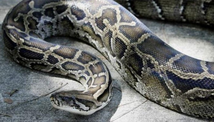 Woman Swallowed By Python While Checking On Corn