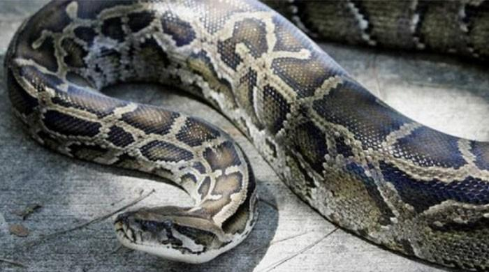 Indonesian woman swallowed by giant python