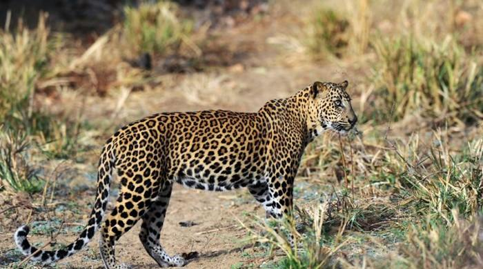 Sri Lanka arrests villagers for killing leopard
