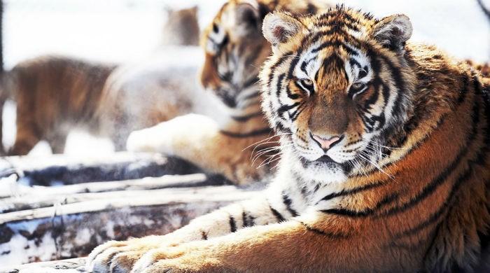 Peshawar zoo gets three pairs of tigers