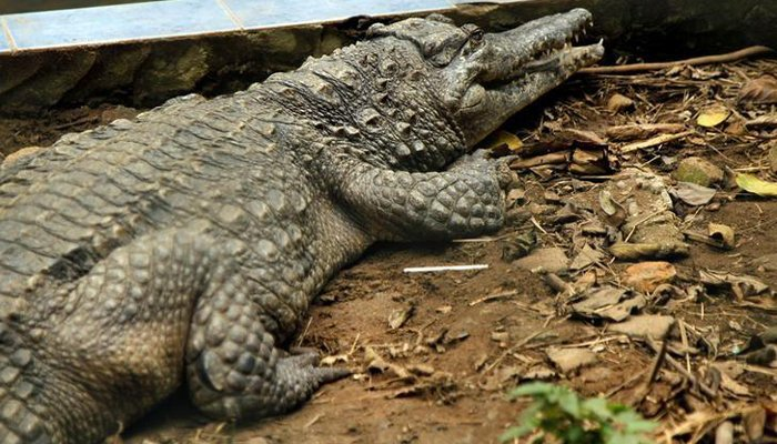 660c62f886a8 Indonesian mob butchers hundreds of crocodiles in revenge attack ...