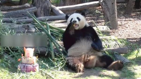 Panda celebrates eighth birthday in Germany's zoo