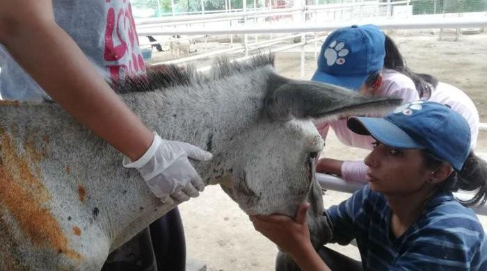 Donkey tortured by political party's supporters passes away