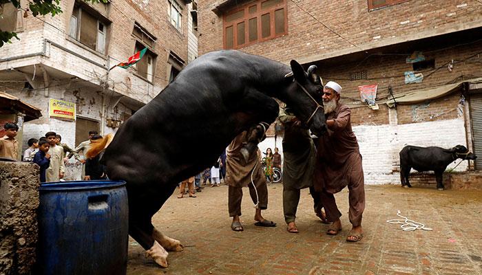 Men control a buffalo to slaughter in celebration of Eid-ul-Azha, in Peshawar, Pakistan August 22, 2018. Photo: Reuters