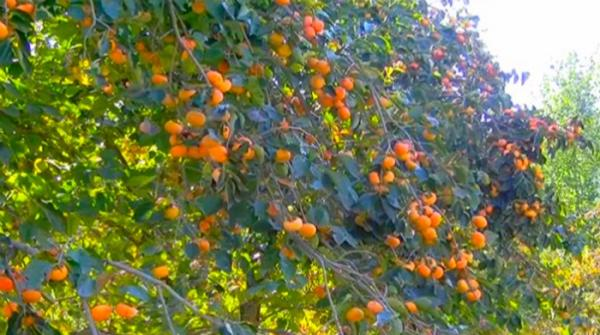 Persimmon orchards of Swat bloom as winter arrives