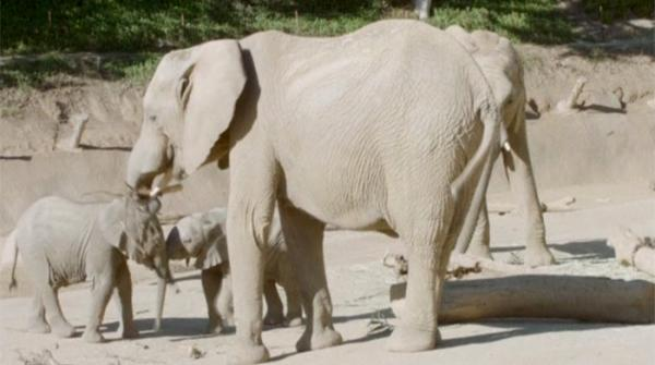 Baby elephants centre of attraction at California zoo