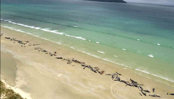 145 pilot whales die after stranding on New Zealand beach