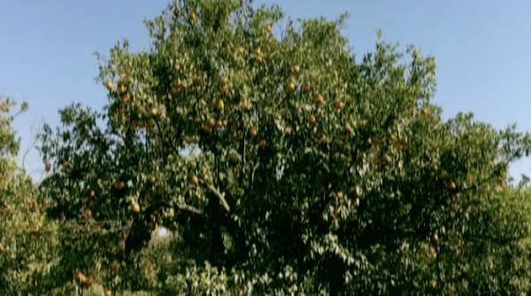 World-famous oranges of Sargodha