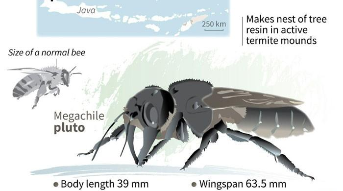 'Flying bulldog': world's largest bee refound