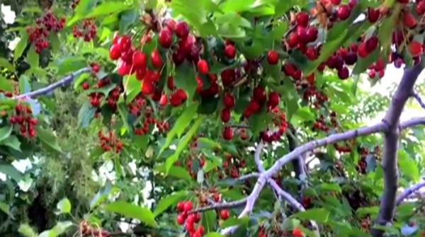 Ziarat's cherries are nature's finest wonder