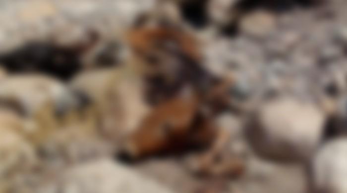 Ahead of Eid-ul-Azha, anthrax epidemic in Kurram leaves dozens of cows dead