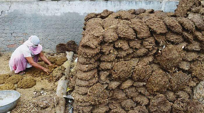 Indian officer says cow dung can act as shield against nuclear radiation
