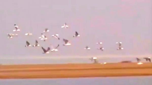 Aquatic birds fly towards Badin ahead of winter