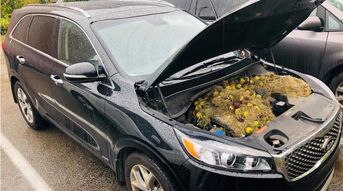 Squirrels stash walnuts for winter in car, causing trouble