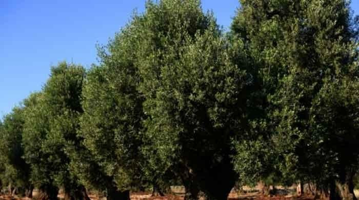 Govt steps up efforts to launch 'Million Olive Tree Tsunami'