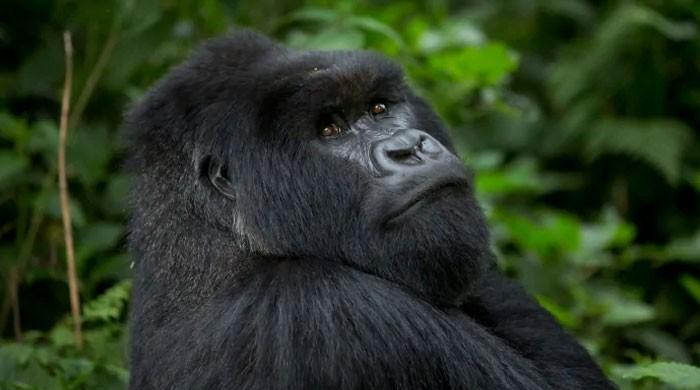 Scientists find how deadly malaria parasite jumped from gorillas to humans