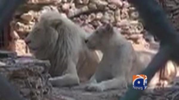 Lion attacks keeper at Karachi Zoo