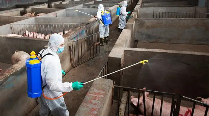 China's disease-affected pigs pose global threat