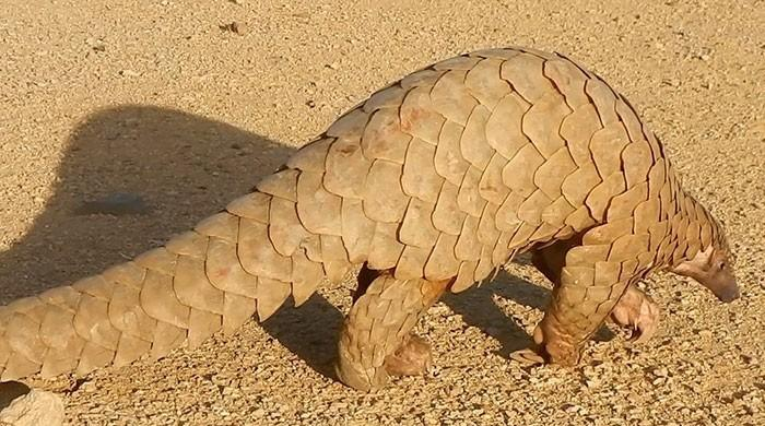 Close to 900,000 pangolins trafficked in Southeast Asia: watchdog