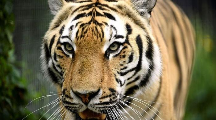 In a first, tiger confirmed with coronavirus in US