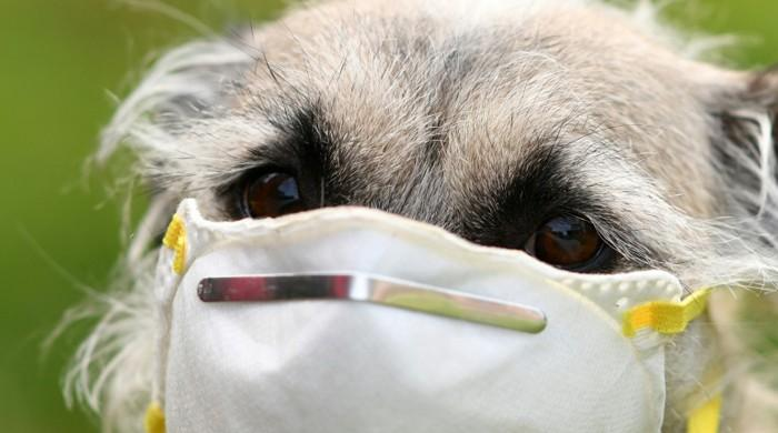 Dogs are being trained in UK to sniff out coronavirus