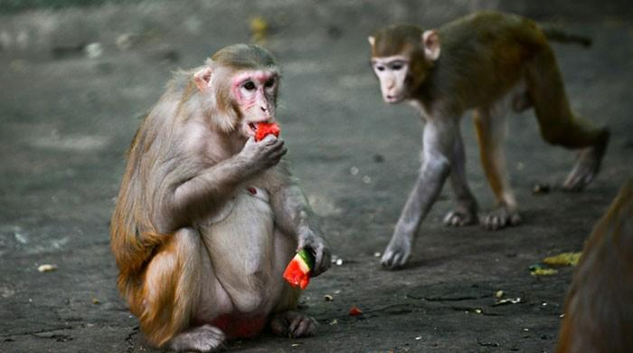 New studies show monkeys infected with coronavirus develop immunity