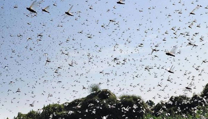Year of Tragedy: Locust Invasion Now Wreaking Havoc in Central India