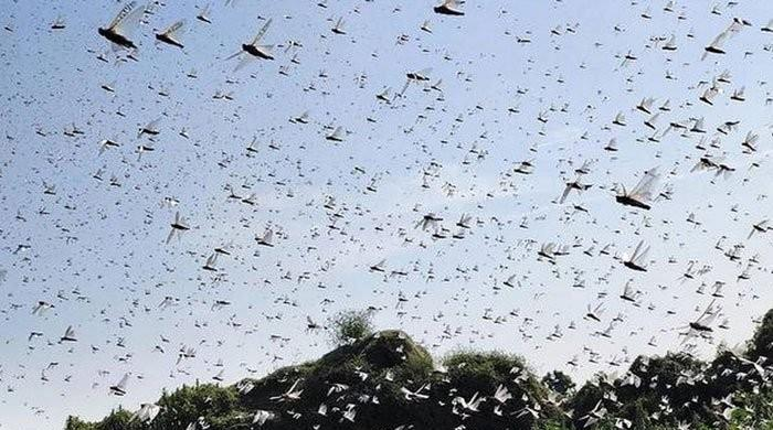 Locusts deal severe damage to mango, cotton and other crops in Sindh, southern Punjab