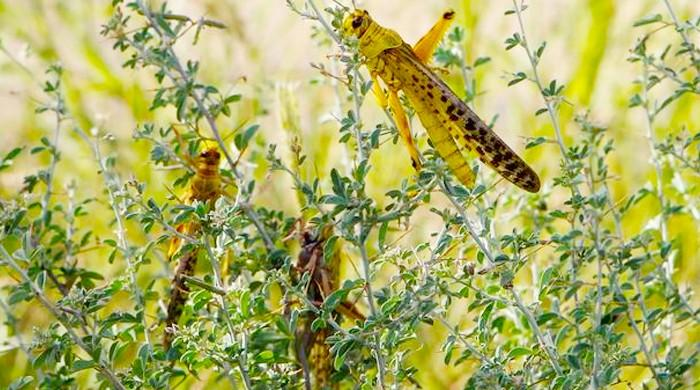 Locust attacks continue to ravage crops in parts of Pakistan